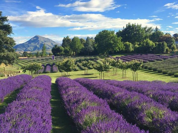 Bring your kids to Wanaka Lavender Farm!!