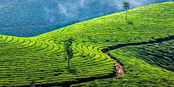 visit the tea plantation with kids